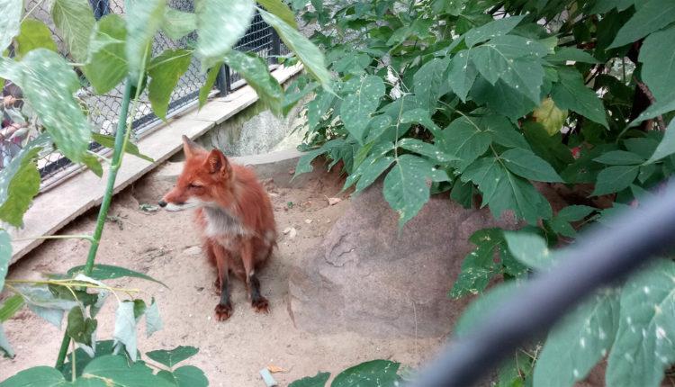 moskovskiy_zoopark_lisa