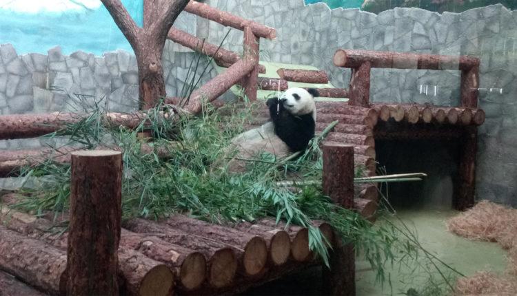 moskovskiy_zoopark_panda