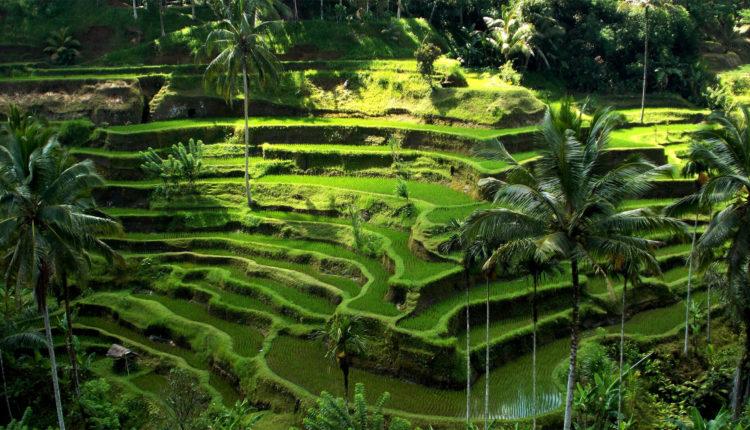 Террасы Тегаллаланг на Бали