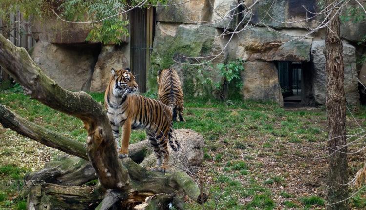 prazhskiy_zoopark_tigry
